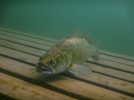 pikeperch looking in the camera at a wooden platform while diving in sommer