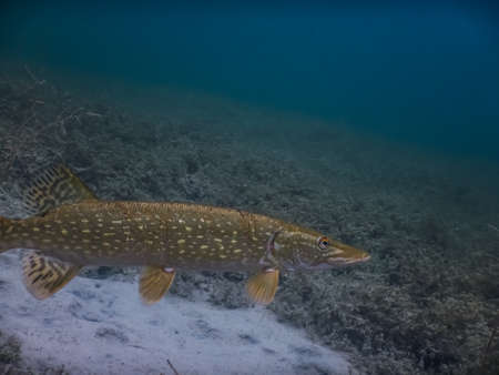 beautiful pike while diving in a lake in clear water