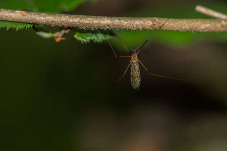 insect crane fly on a branch in the forest macro view