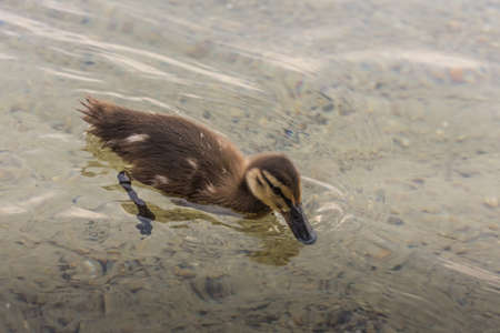 little baby duck swims in the water in a lake