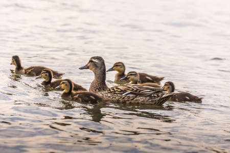 mother and baby ducks swimming together in a lake Archivio Fotografico