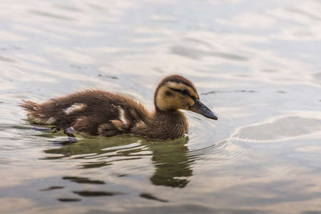 little baby duck with fluffy fur in the summer Archivio Fotografico