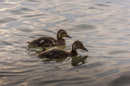 two baby ducks side by side in the water