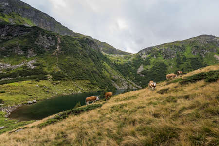 cows on a green alp with mountain lake in the summer Zdjęcie Seryjne