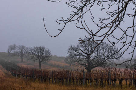 trees vineyards with fog and grey sky in the winter