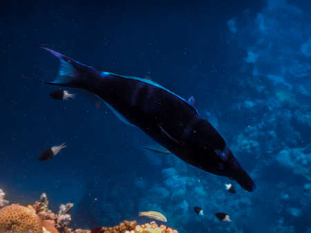 blue bird wrasse in deep blue sea while diving in egypt