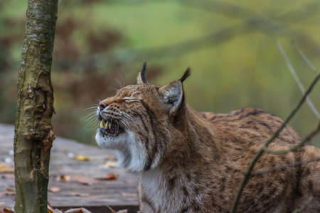 lynx lies and shows the teeth in a zoo in the mountains on vacation