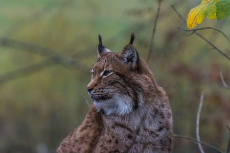 lynx sits and looks to the side in a zoo in the mountains