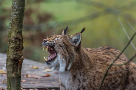 lynx lies and yawns and tears the mouth to show the teeth in a zoo Standard-Bild