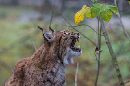lynx sits and yawns by showing the teeth in a zoo