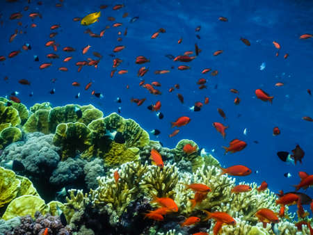 many colorful fishes and corals in blue sea in egypt on vacation