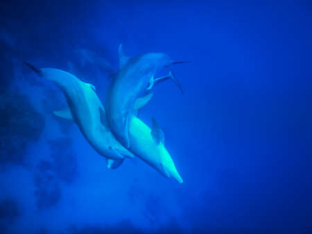 spinner dolphins play entwined in deep blue sea on vacation