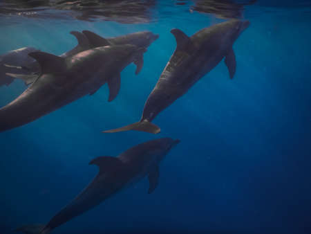 spinner dolphins swim near the surface in the red sea while diving