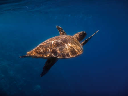 hawksbill turtle swims while diving in blue water on vacation