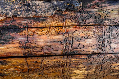 tree trunk with bark beetle tracks and many cracks in the forest Reklamní fotografie