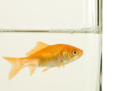 goldfish in aquarium on white background Stock Photo - 17060501