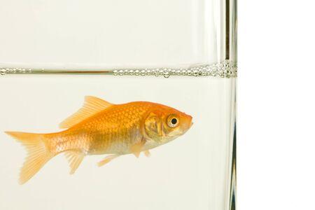 fishtank: goldfish in aquarium on white background
