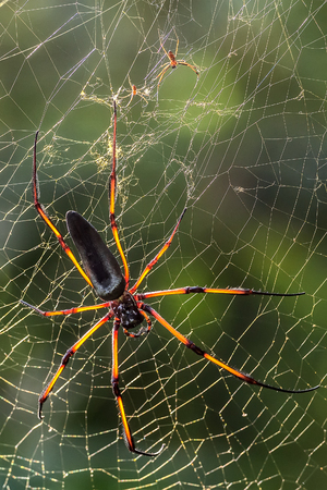 arachnida: seychelles endemic spider species nephila inaurata on a web