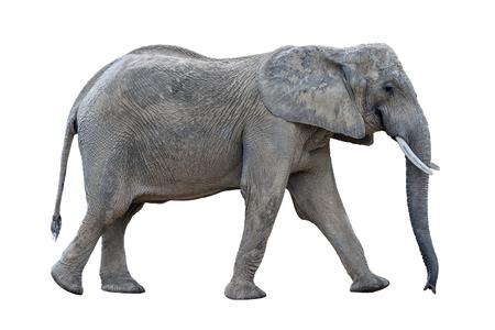 grijze lopende Afrikaanse olifant die op witte achtergrond wordt geïsoleerd