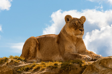 female lion panthera leo standing on the top of a rock on blue cloudy sky background. Stock Photo