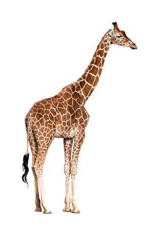 Giraffa camelopardalis isolated on white background