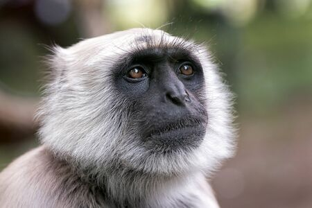 gray: close view of  a northern plains gray langur semnopithecus entellus primate Stock Photo