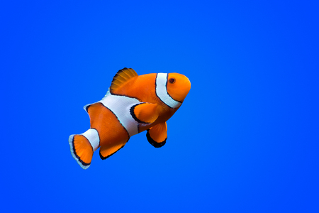深い青色の海色の背景上 Amphiprioninae カクレクマノミ