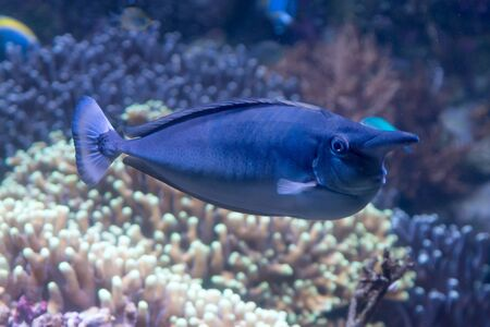 tropical short nosed blue unicornfish naso brevirostris swimming in the sea Stock Photo