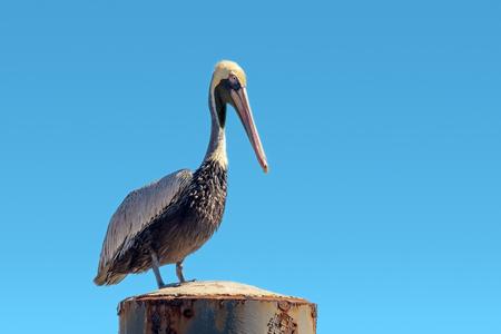 Pelecanus occidentalis brown pelican standing on a Mooring bollard, blue gradient sky background
