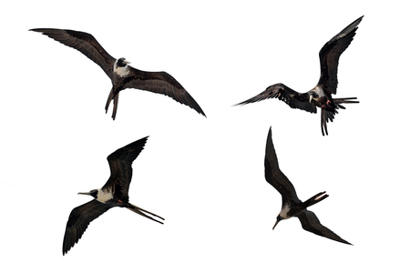 Adult female Fregata magnificens Magnificent frigatebird flying in various postures isolated on white background Reklamní fotografie