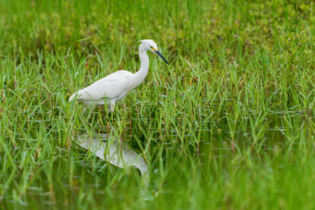 white common little egret egretta garzetta on green grass  background Imagens
