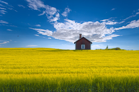 Traditional red swedish summerhouse set in a yellow oat field against a blue sky the island of Frsn stersund Sweden