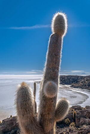 salt flat: Cactus at the Island of Incahuasi Uyuni salt flat Bolivia Stock Photo