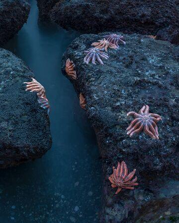 Starfish on Motukiekie Stichaster australis beach, New Zealand. 版權商用圖片