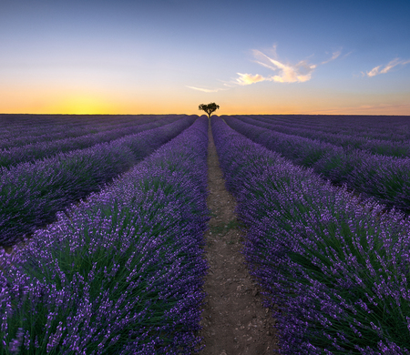 Lone tree in lavender field, Valensole, Provence, France