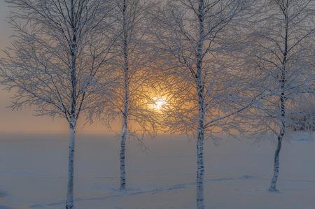 La salida del sol de invierno visto a través de los troncos y las ramas de cuatro abedules en frente del lago cubierto de nieve, Suecia