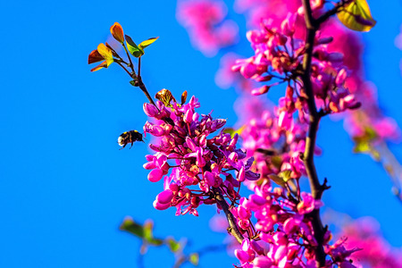 Close up of bumble bee approaching the flowers of a blossoming cherry tree, France