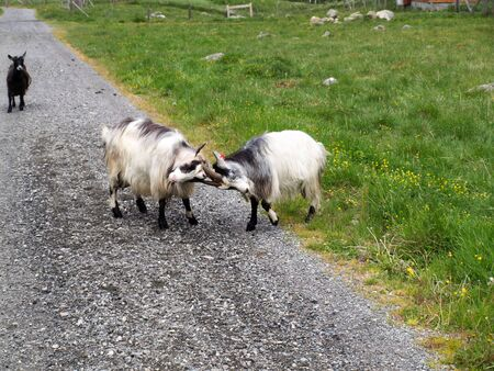 Two goats fighting on the Rallarvegen near Flam in Norway, one young goat is watching photo