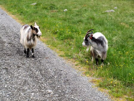 Two goats fighting on the Rallarvegen near Flam in Norway photo