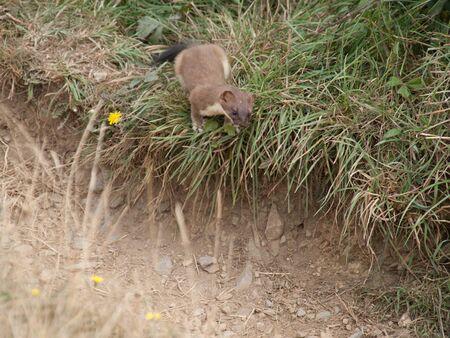 weasel: Weasel is hunting a rabitt