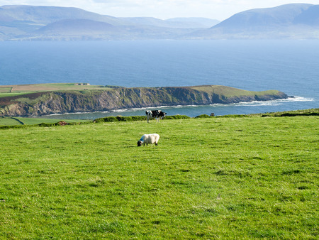View from the Dingle Peninsula to the Iveragh peninsula with green grass, a blue ridge and a clear blue sky with grazing animals