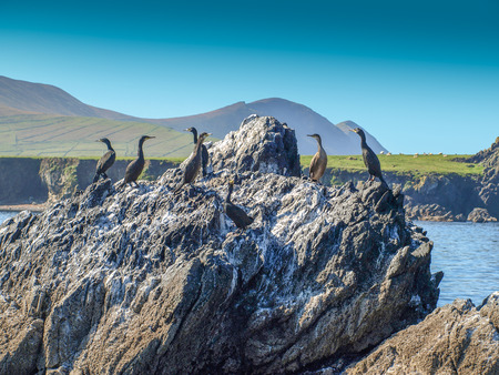 Flock of cormorants on a cliff with Blasket island in the background. The island is situated west of the Dingle peninsula in Ireland.