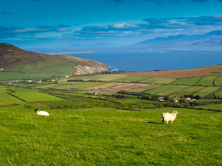green ridge: View from the Dingle Peninsula to the Iveragh peninsula with green grass, a blue ridge and a blue sky with grazing sheeps.