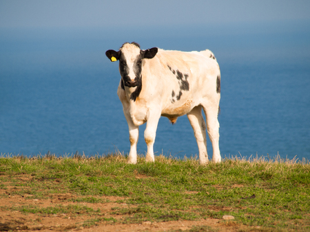 Calf on a farmland near Port Isaac in north Cornwall with the atlantic ocean in the background.