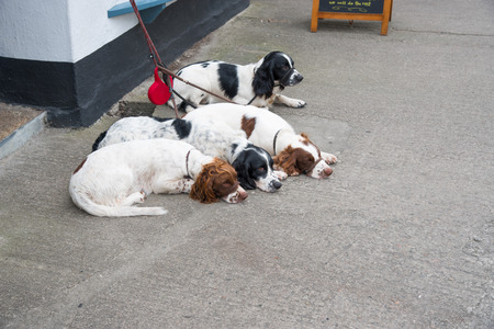 scilly: Four dogs in Huge Town on St. Mary?,?s Iceland from the Isles of Scilly west of Cornwall. Stock Photo