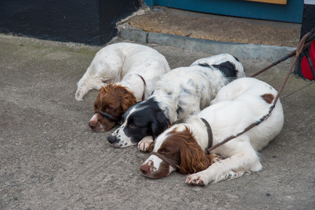 scilly: Three dogs sleep in Huge Town on St. Mary?,?s Iceland from the Isles of Scilly west of Cornwall.