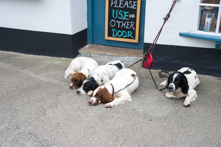 isles: Four dogs in Huge Town on St. Mary?,?s Iceland from the Isles of Scilly west of Cornwall. Stock Photo