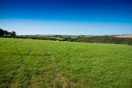 Verdant grassland with sheep, bushes and a clear blue sky near St Issey in north Cornwall. Stock Photo