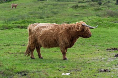 bodmin: Scottish highland cattle near the Colliford Lake in the Bodmin Moor in Cornwall