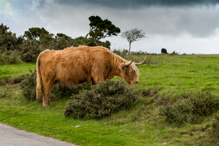 Scottish highland cattle grazes in the Bodmin Moor in Cornwall